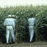 Field_of_Dreams_cornfield.jpg